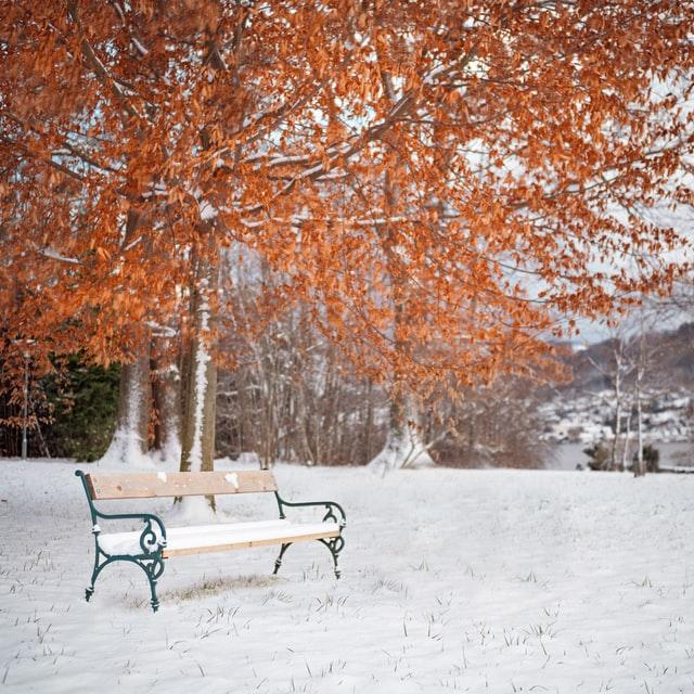 orange tree leaves with snow on the ground